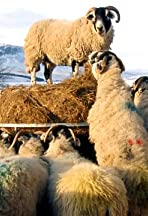 Addicted to Sheep TV Version